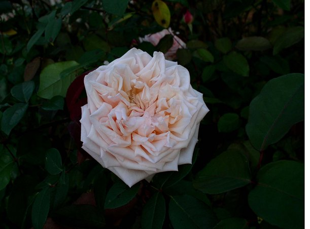'Baronne Henriette de Snoy' rose photo