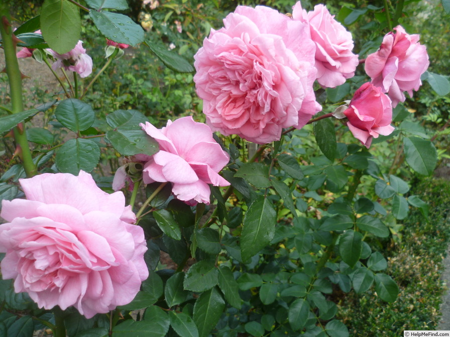 'Zaide ® (shrub, Kordes, 1994)' rose photo