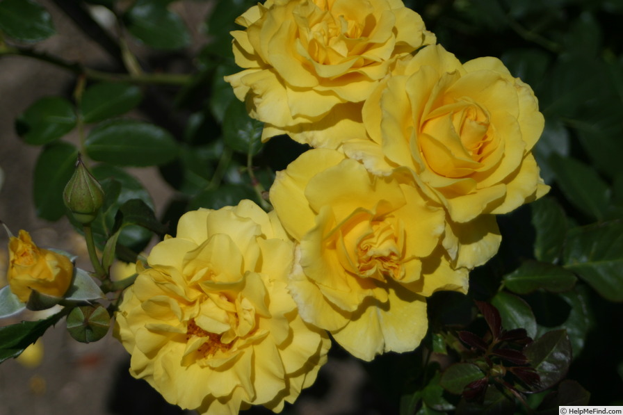 'Sparkle & Shine' rose photo