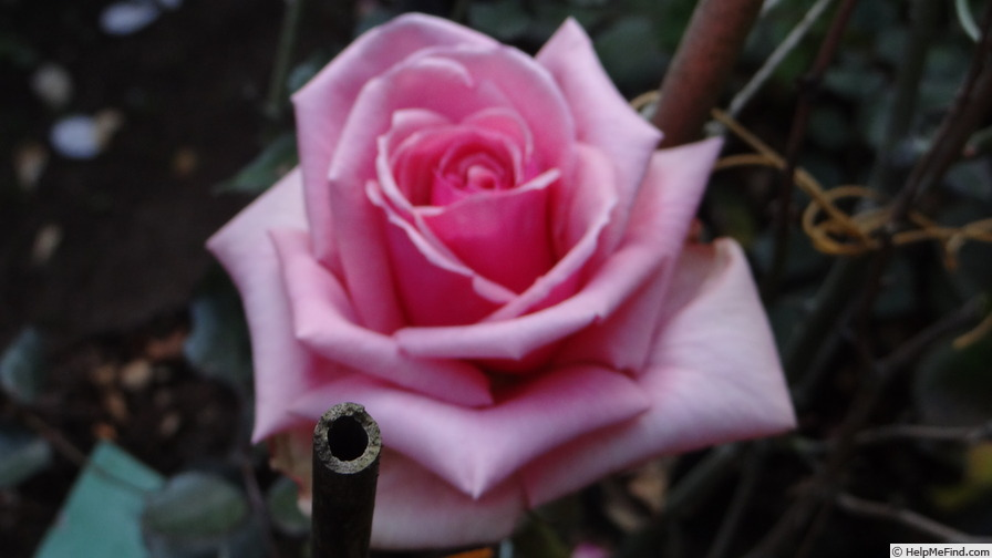 'Dr. Malcolm Manners ™' rose photo