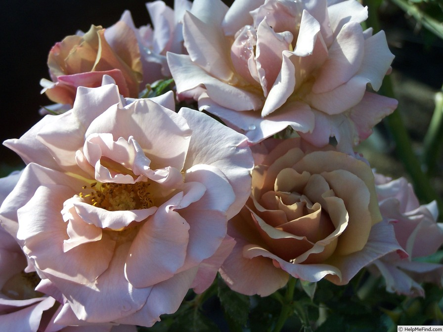 'Connie's Sandstorm' rose photo