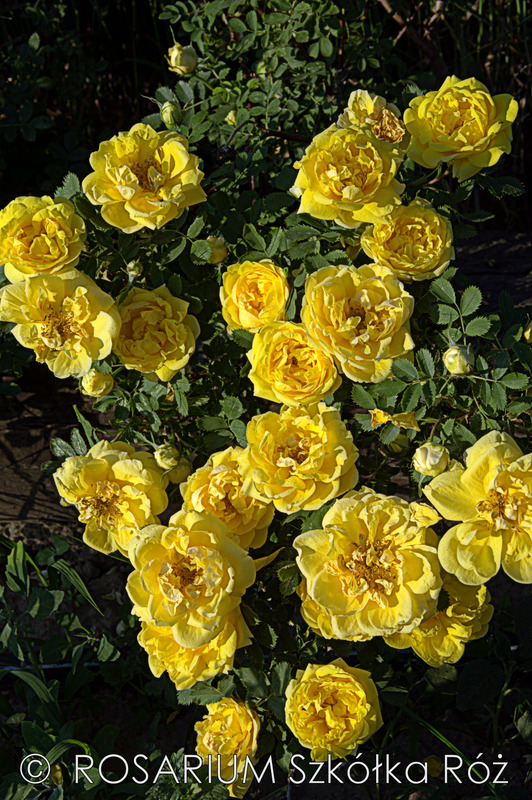 '<i>Rosa foetida</i> 'Persian Yellow'' rose photo