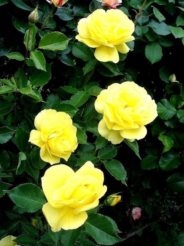'Friesia (floribunda, Kordes, 1973)' rose photo