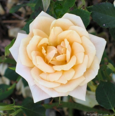 'Apricot Twist ™' rose photo