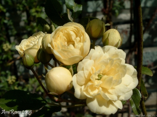'<i>Rosa banksiae</i> f. <i>lutea</i> Rehder' rose photo