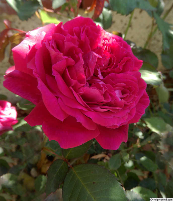 'Eugène de Beauharnais (bourbon, Hardy, 1838)' rose photo