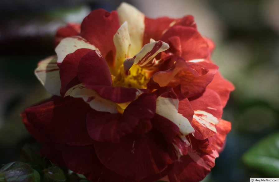 'Tropical Lightning' rose photo