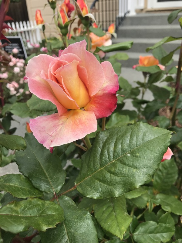 'Rosie The Riveter ™' rose photo