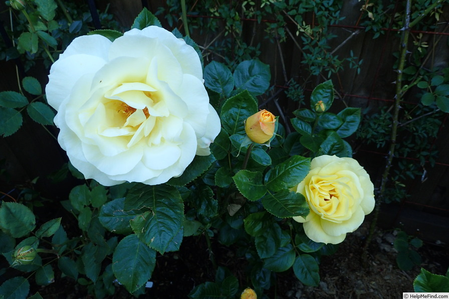 'Arthur Bell (Floribunda, McGredy, 1959)' rose photo