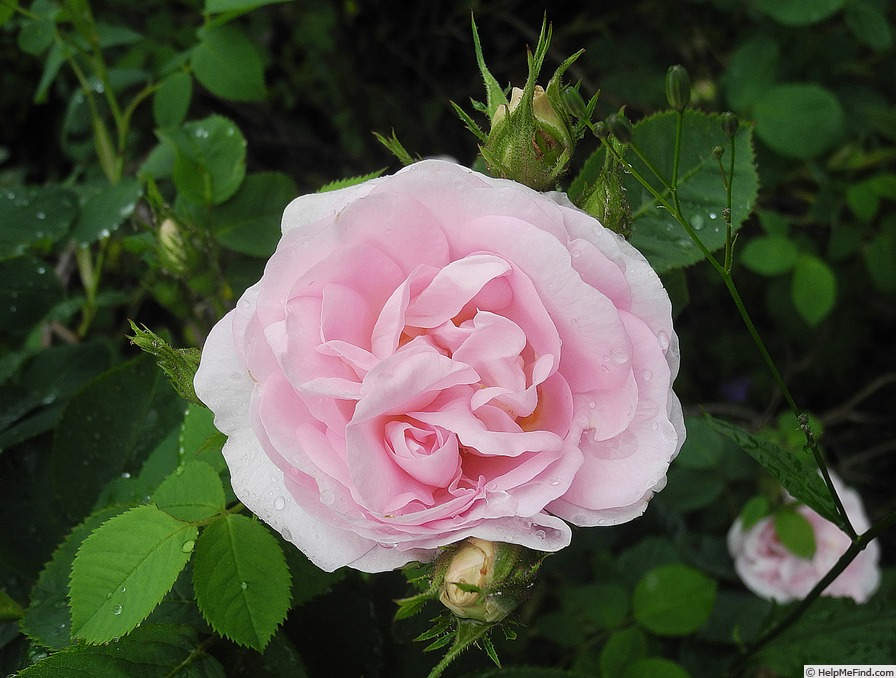 'Great Maiden's Blush' rose photo