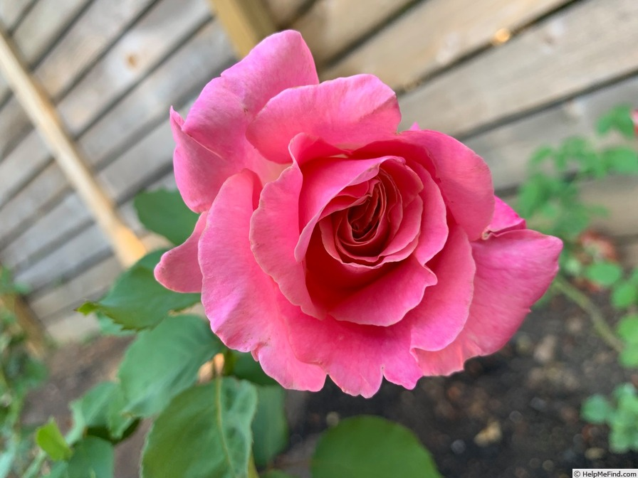 'Summerwine (hybrid tea, Warriner, 1974)' rose photo