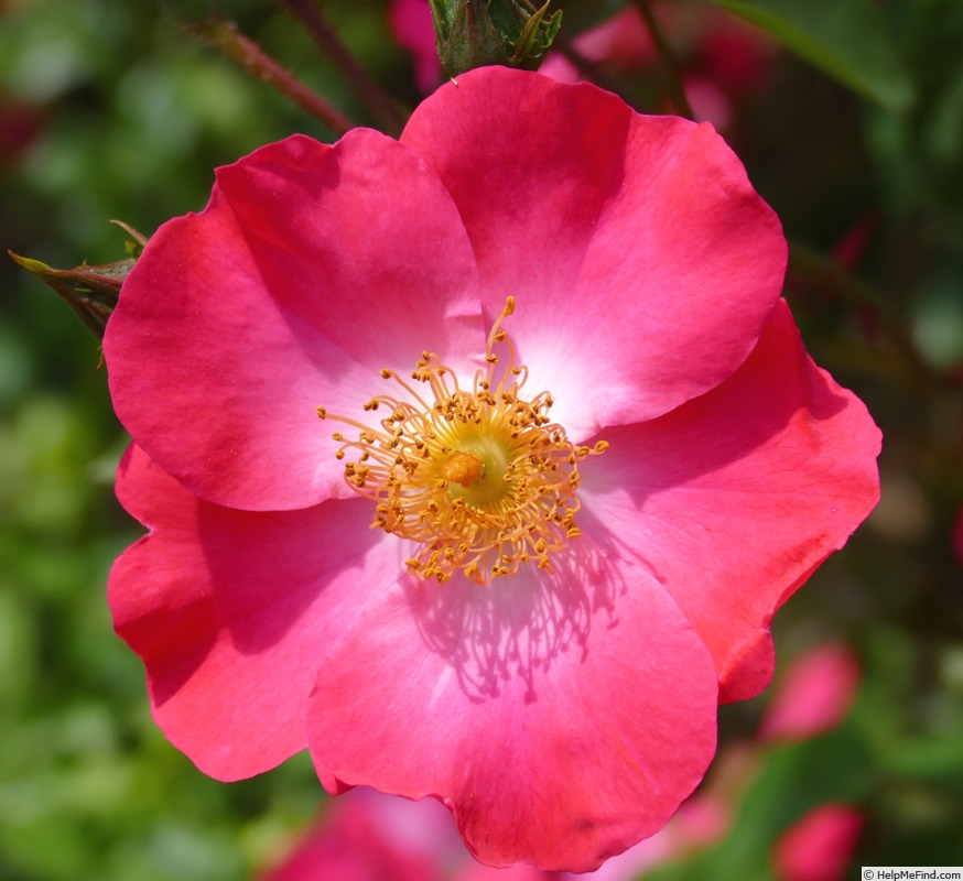 'Chuckles (floribunda, Shepherd, 1957)' rose photo