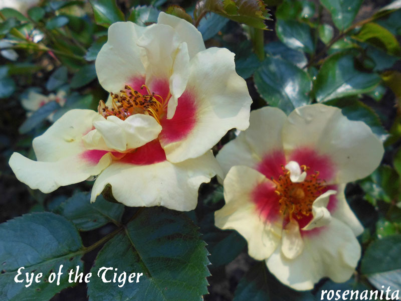 'Eye of the Tiger' rose photo