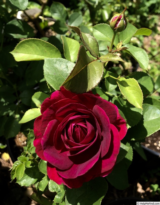 'Celestial Night ™' rose photo