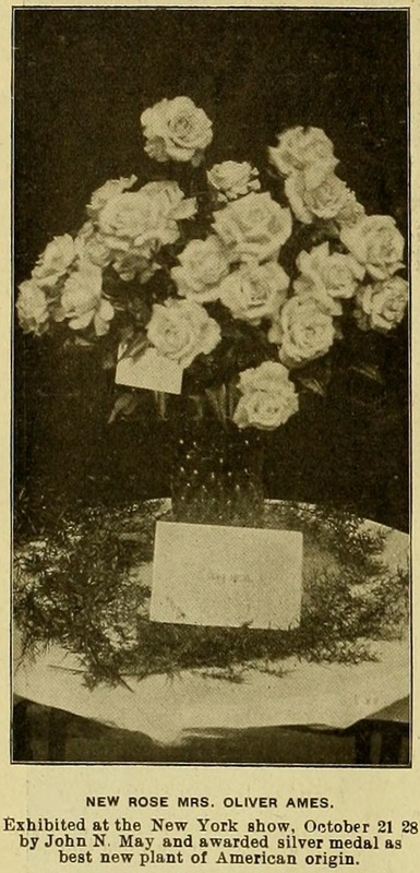 'Mrs. Oliver Ames (tea, Montgomery, 1898)' rose photo