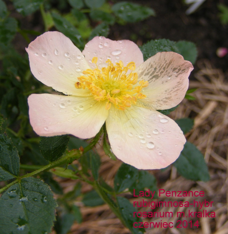 'Lady Penzance' rose photo