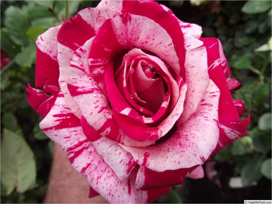 'Avant-Garde (hybrid tea, Delbard 2003)' rose photo