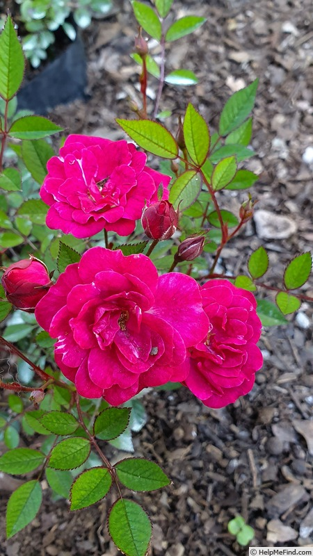 'Perla de Alcanada' rose photo