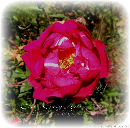 'White Pearl in Red Dragon's Mouth' rose photo