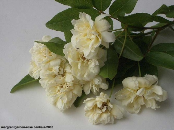 'R. banksiae alba' rose photo