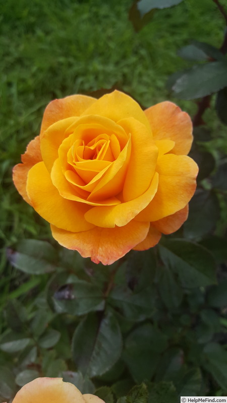 'Good as Gold (hybrid tea, Carruth 2013)' rose photo