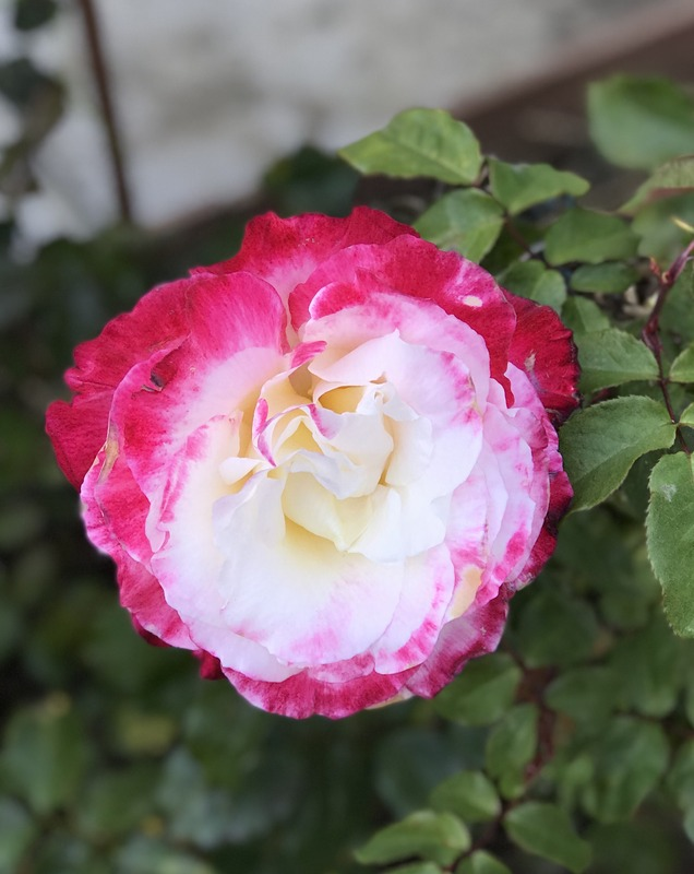 'Double Delight ®' rose photo