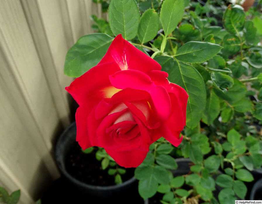 'Rosie O'Donnell' rose photo