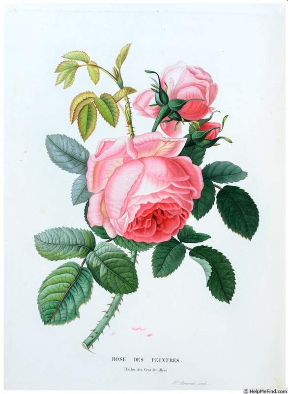 'Rose des peintres' rose photo