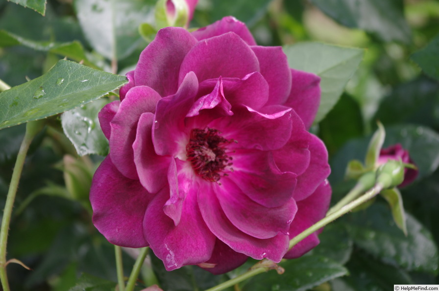 'Burgundy Iceberg' rose photo