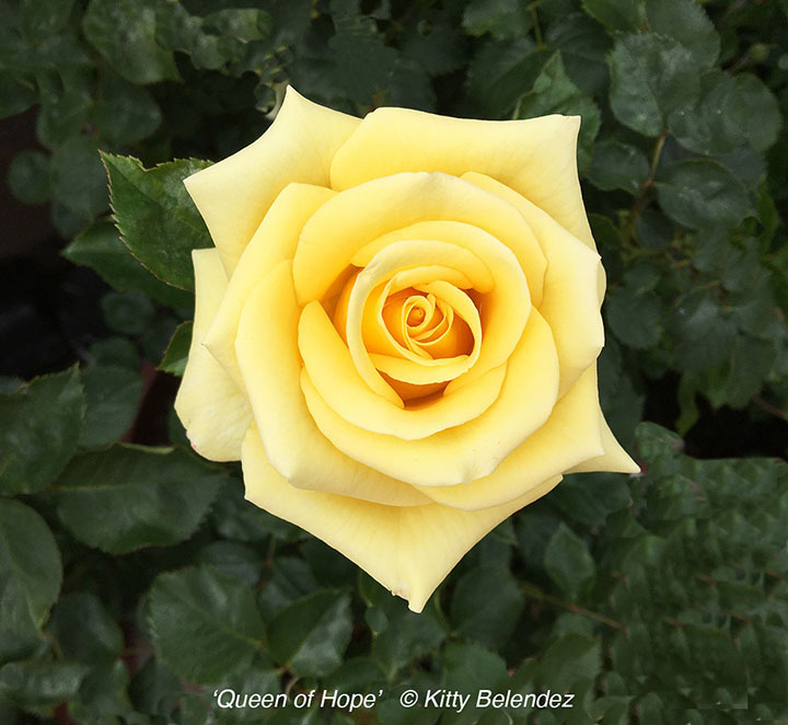 'Queen of Hope' rose photo