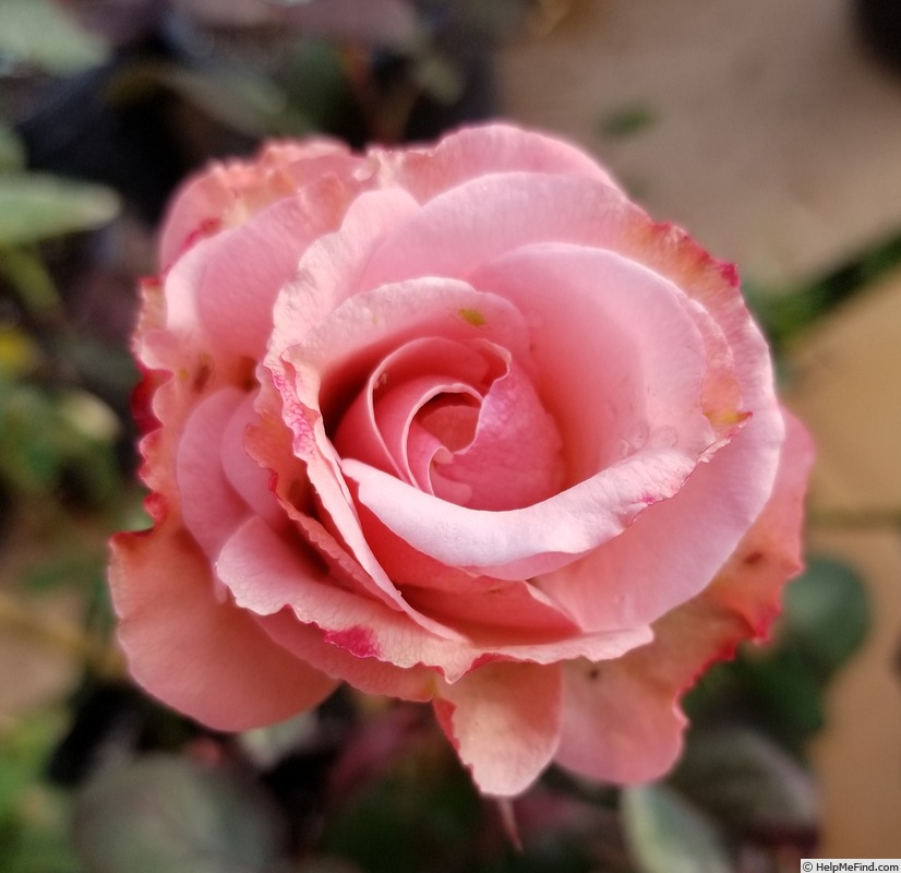 'Olympic Dream' rose photo