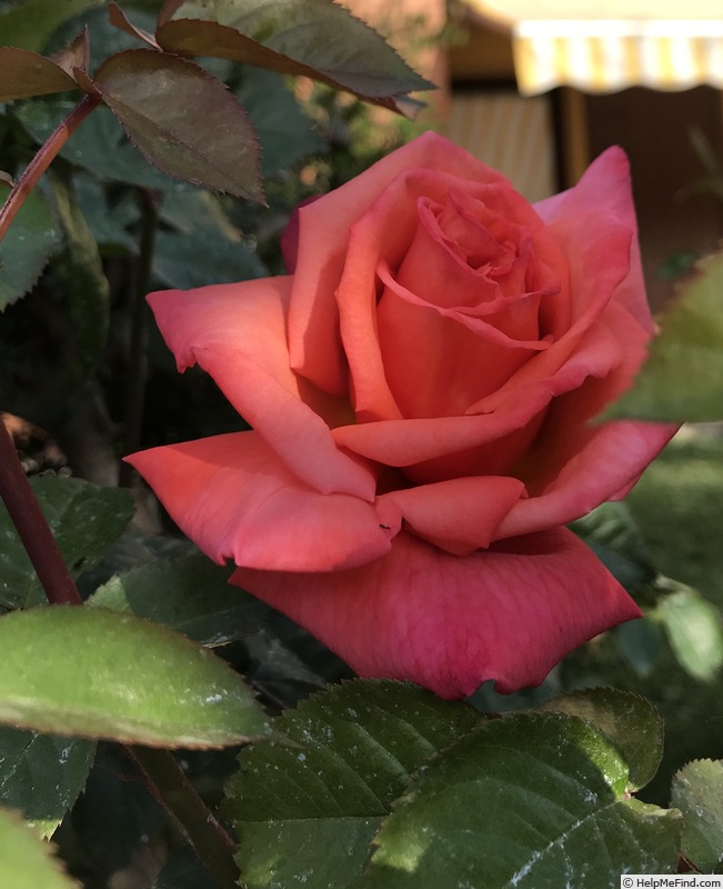 'Christophe Colomb ® (hybrid tea, Meilland, 1992)' rose photo