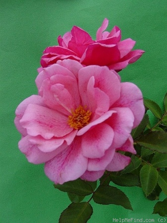 'Malaguena' rose photo