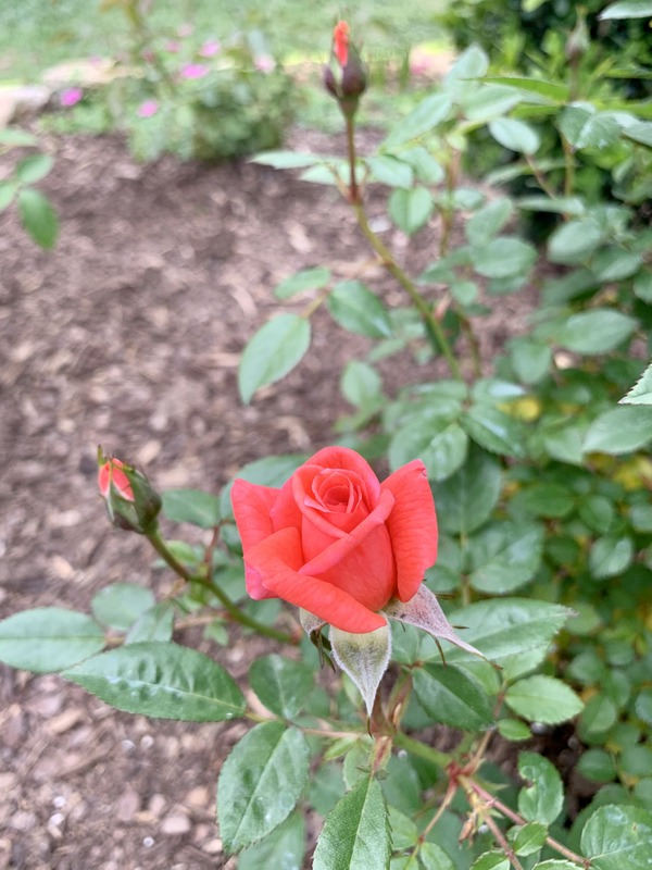 'Smoke Rings' rose photo
