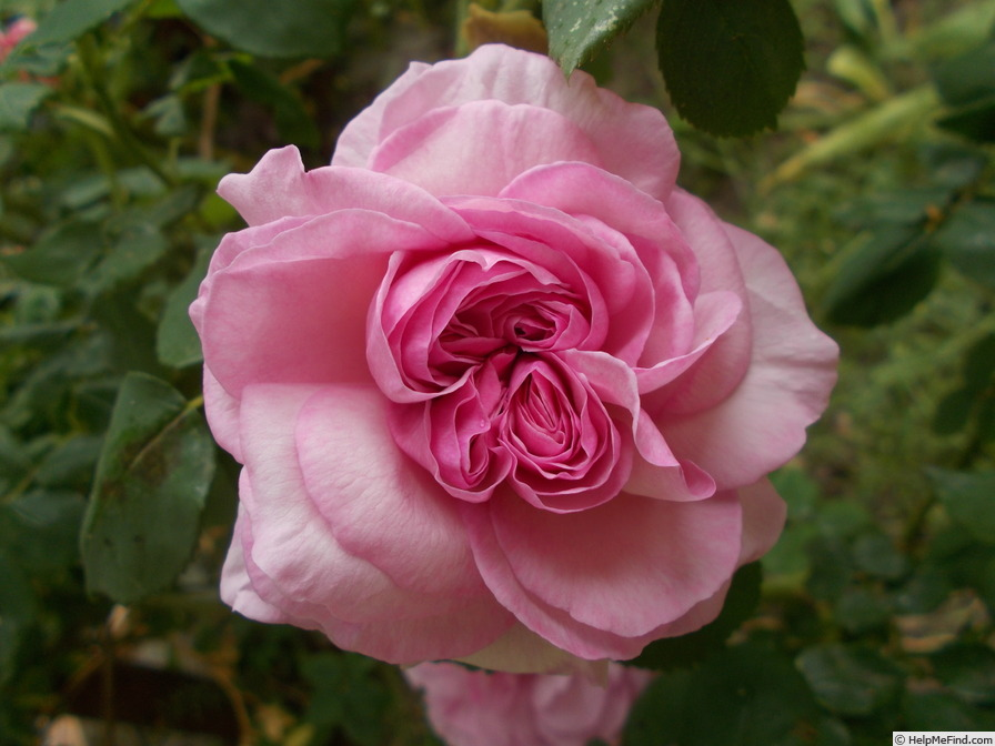 'Florence Ducher ®' rose photo