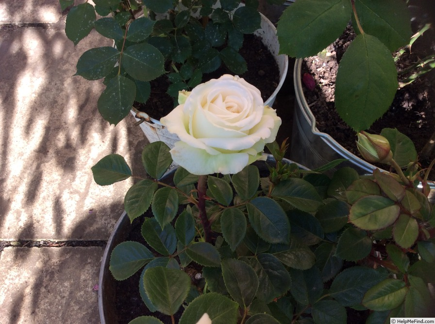 'Diamond Wedding (floribunda, Rawlins before 2020)' rose photo