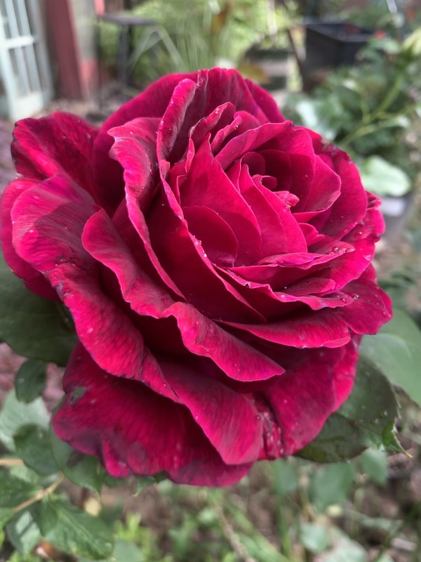 'Mayor Ray Baker' rose photo