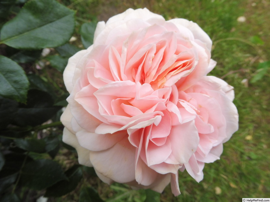 'Garden of Roses ®' rose photo