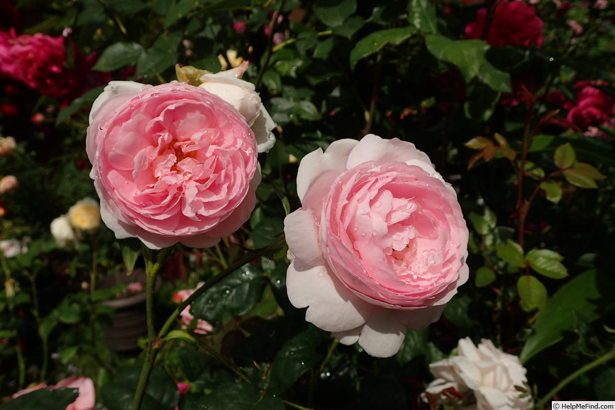 'Scepter'd Isle ®' rose photo