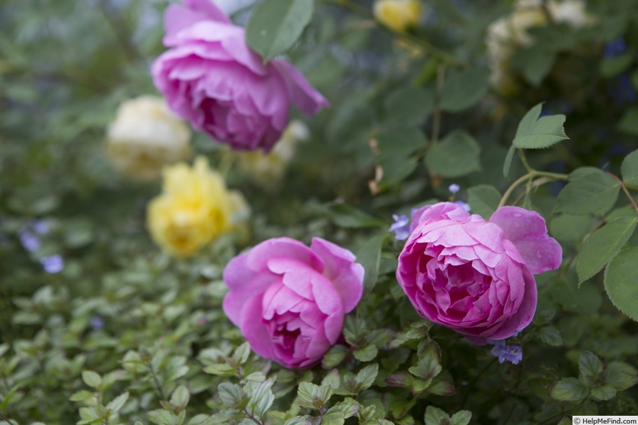 'Royal Jubilee' rose photo