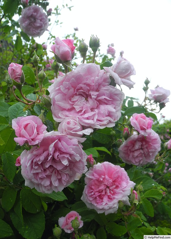'Ispahan (damask, Unknown, before 1827)' rose photo