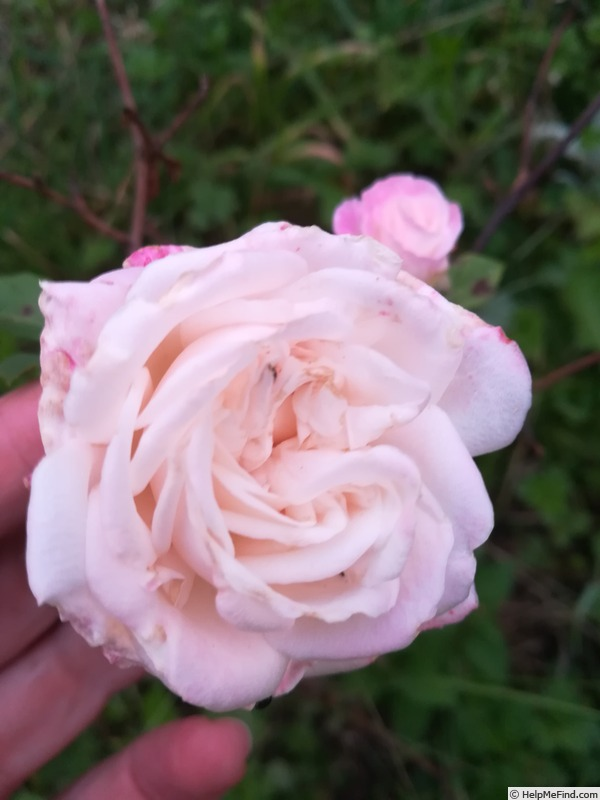 'Homère' rose photo