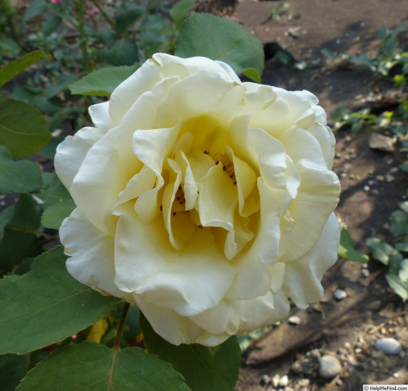 'Primo Sole ®' rose photo