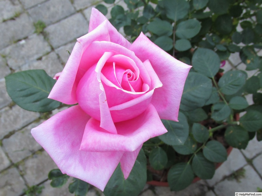 'Pink Favorite' rose photo