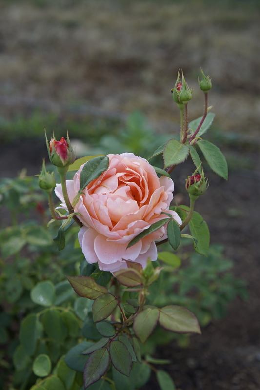 'Carding Mill ™' rose photo