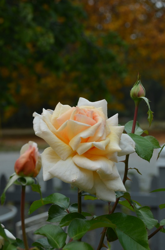 'Apricots n' Cream' rose photo