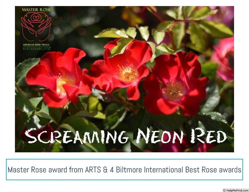 'Screaming Neon' rose photo