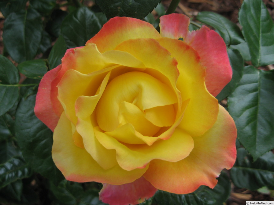 'Bright Spirit' rose photo