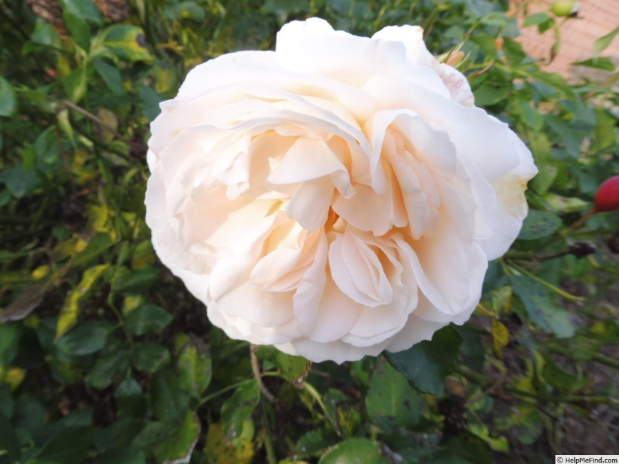 'Kosmos ® Fairy Tale (floribunda, Kordes, 2006)' rose photo