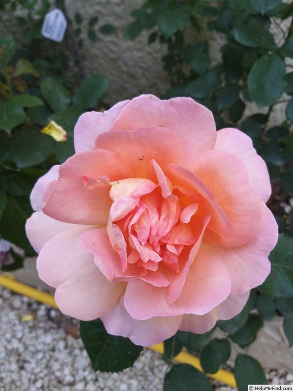 'Belle du Seigneur ®' rose photo